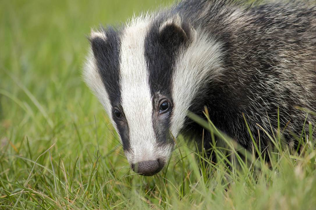 European Badger | www.guardianofgiria.com