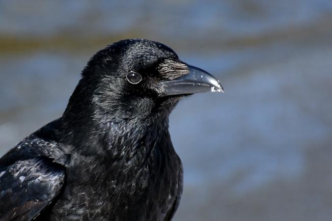 Common Raven   www.guardianofgiria.com