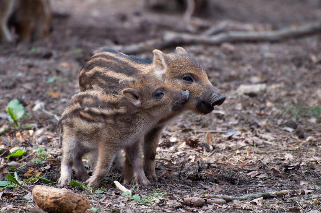 Wild Boar Piglets | www.guardianofgiria.com
