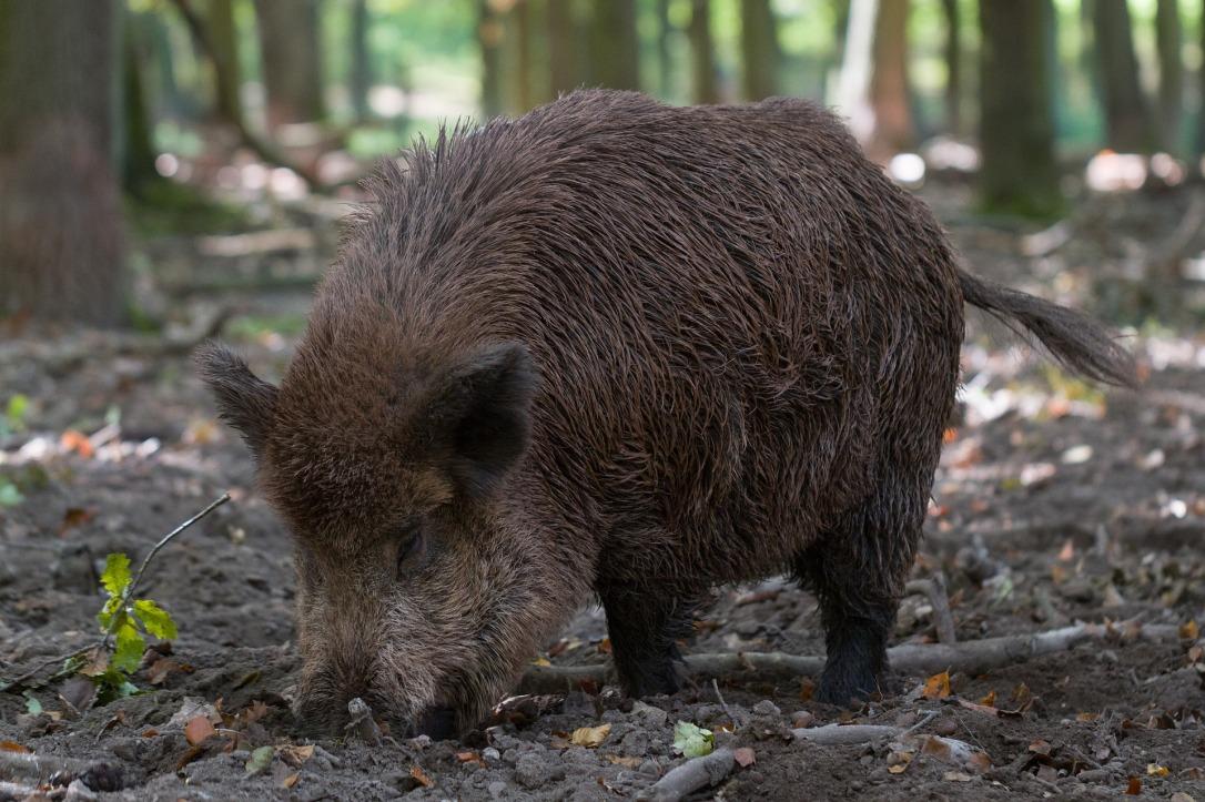 Wild Boar | www.guardianofgiria.com