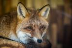 Red Fox   www.guardianofgiria.com