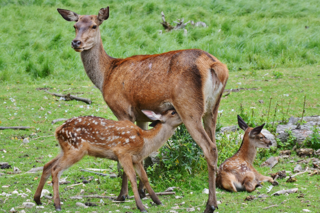 Red Deer Hind & Calves | www.guardianofgiria.com