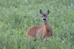 Roe Deer Doe | www.guardianofgiria.com