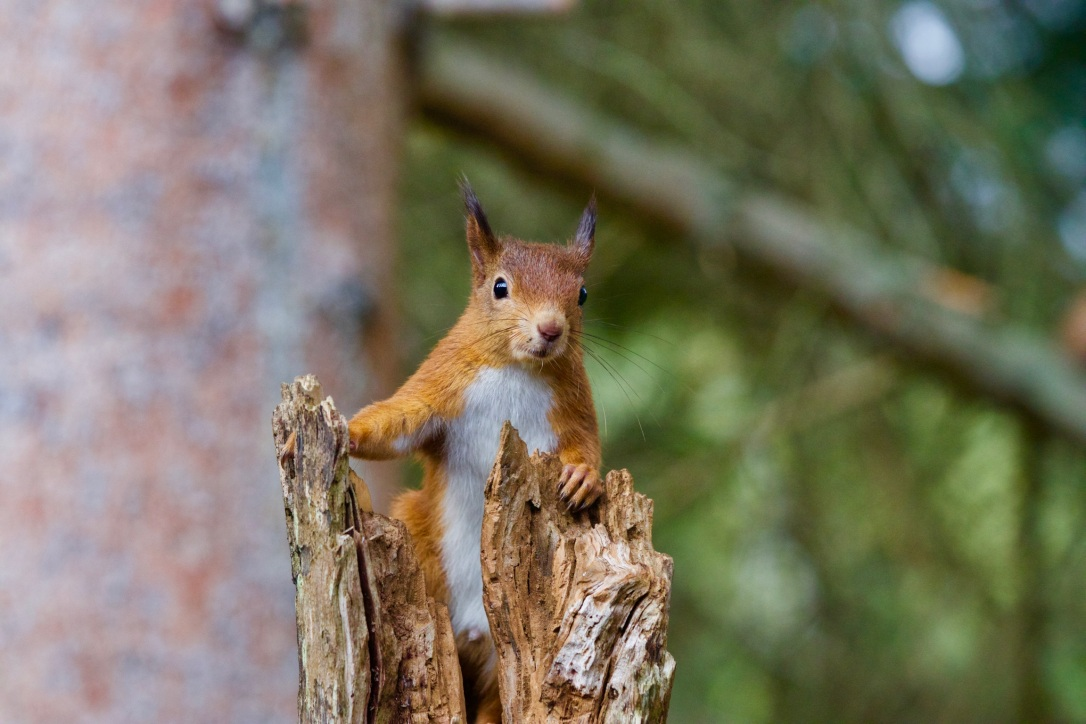 Red Squirrel | www.guardianofgiria.com