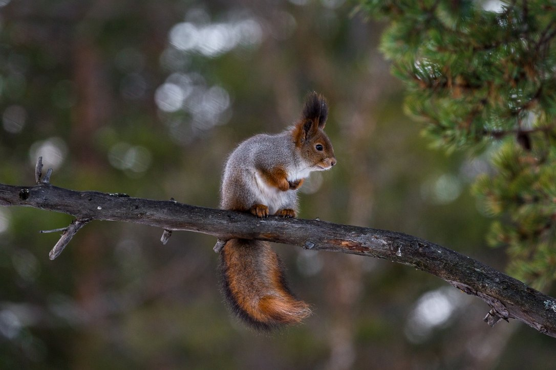 Eurasian Red Squirrels | www.guardianofgiria.com