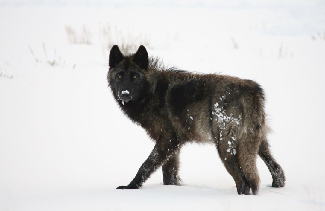Black wolf | www.guardianofgiria.com
