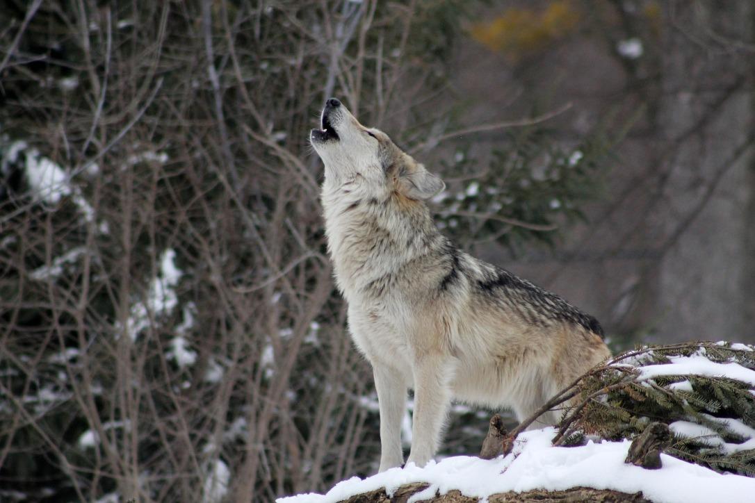 Gray wolf howling | www.guardianofgiria.com