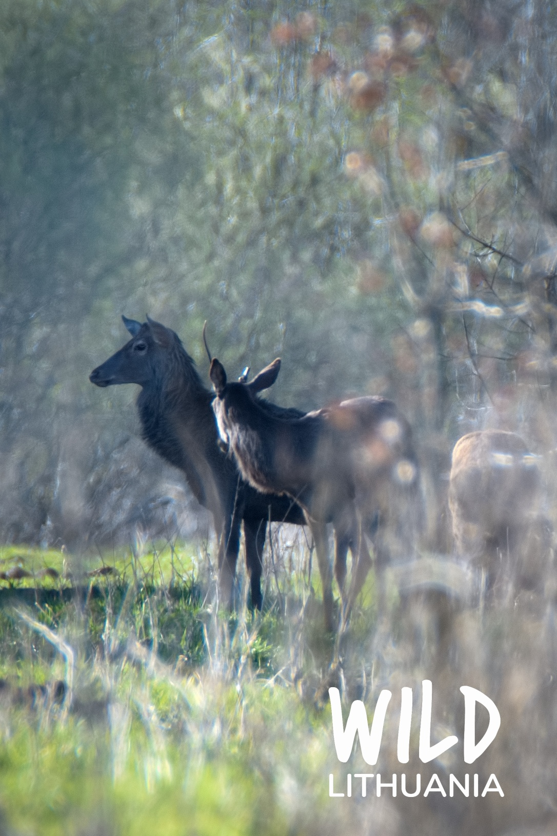 Red Deer Stags   www.guardianofgiria.com