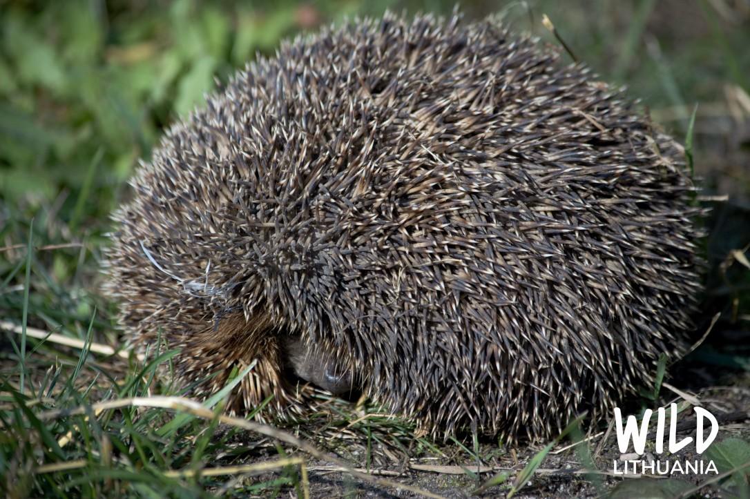 Hedgehog | www.junemolloy.com