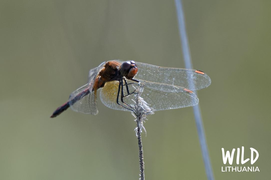 Ruddy Darter (Dragonfly) | www.junemolloy.com