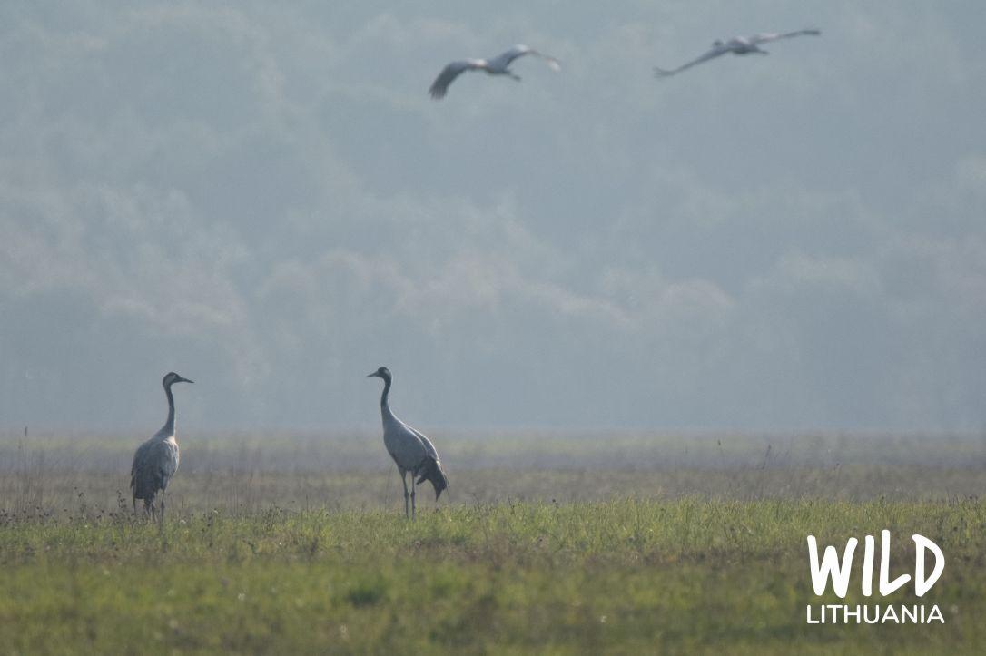 Common Cranes (Grus Grus) | www.junemolloy.com