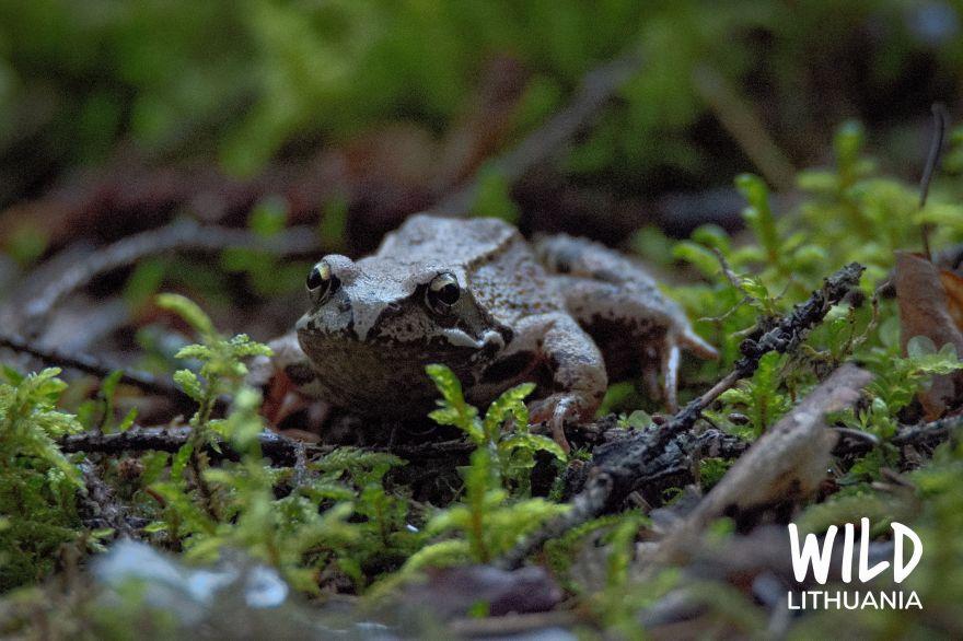 Common Frog   www.junemolloy.com