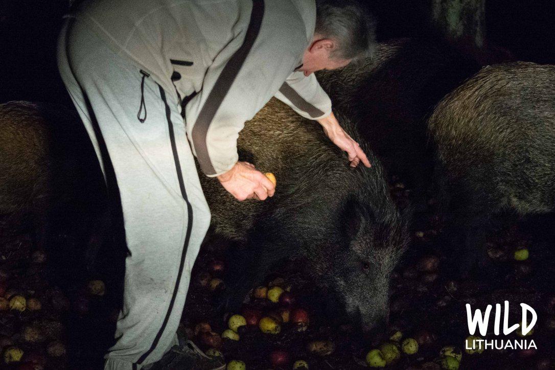 Wild Boar Nighttime Feeding, Lithuania | www.junemolloy.com