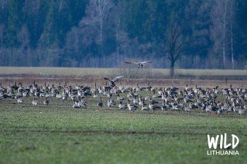 Bean Goose Migration, Lithuania | www.junemolloy.com