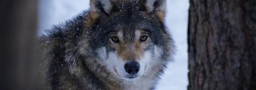 Grey Wolf | www.junemolloy.com