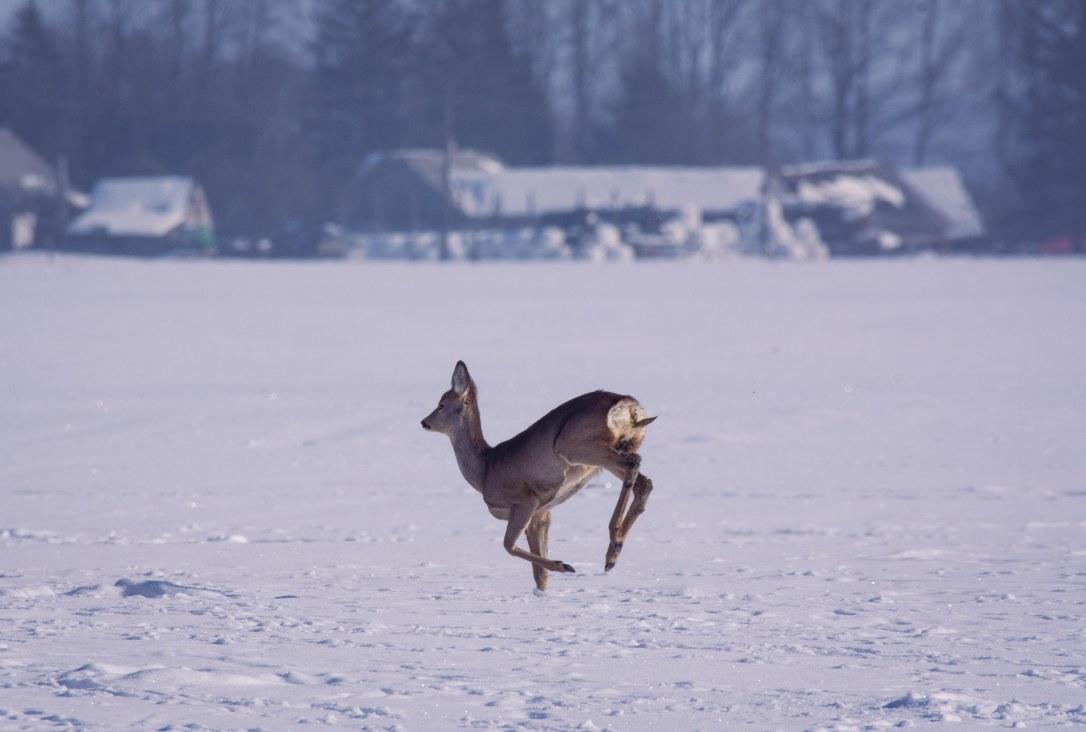 Roe Deer Doe Running | www.junemolloy.com
