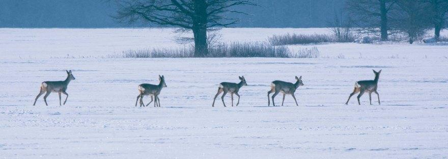 Roe Deer Herd | www.junemolloy.com