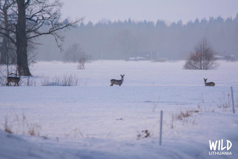 Roe Deer in Mist | www.junemolloy.com