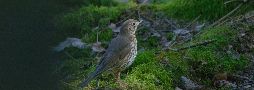 Song Thrush | www.junemolloy.com