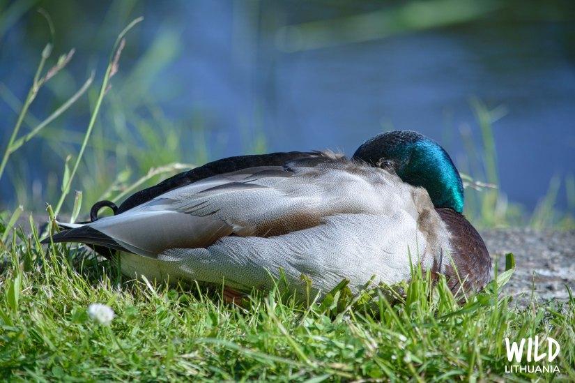 Mallard Duck | www.junemolloy.com