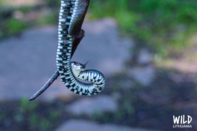 Grass Snake | www.junemolloy.com