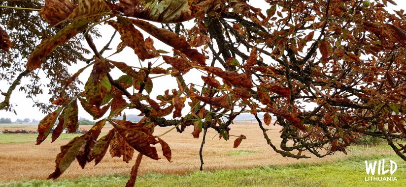Chestnut Tree Autumn Leaves | Wild Lithuania | www.junemolloy.com