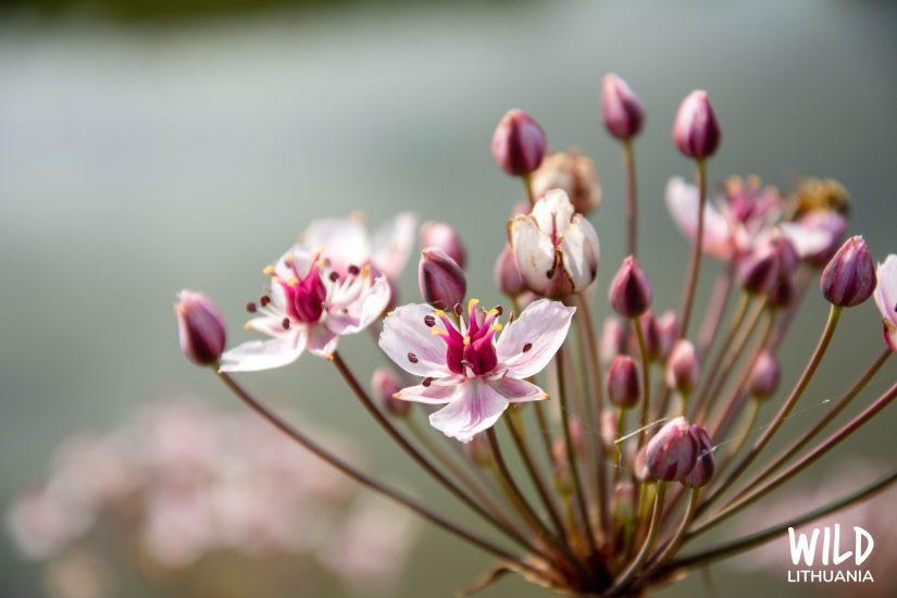 Flowering Rush by the Nemunas | Wild Lithuania | www.junemolloy.com