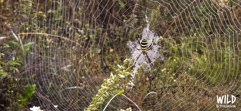 Wasp spider (paprastasis vapsvavoris) in web | Wild Lithuania | www.junemolloy.com